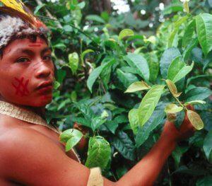 Amazon Warrior With Guayusa Plant